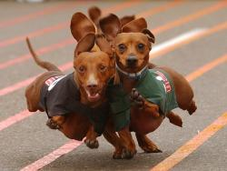 doxie-derby